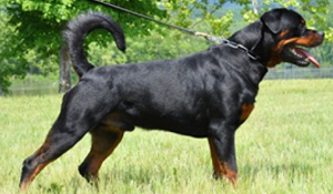 Available Male Rottweilers