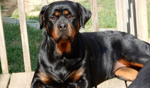 Available Female Rottweilers