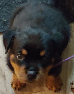 Available German Rottweiler Puppies For Sale In Greensboro Nc Von